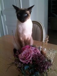 Gigio, chat Siamois