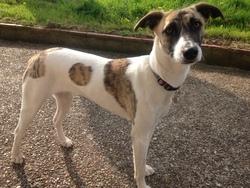 Gilda, chien Whippet