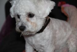 Gilia, chien Bichon à poil frisé