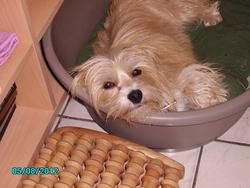 Gillia, chien