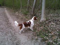 Gilliam, chien Welsh Springer Spaniel