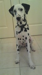 Giltari, chien Dalmatien