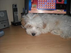 Gim, chien Bichon maltais