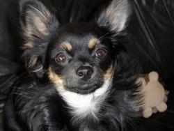 Gimli, chien Chihuahua