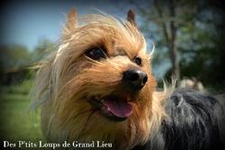 Gimli, chien Silky Terrier