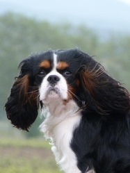 Gimmy, chien Cavalier King Charles Spaniel