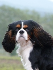 Gimmy, chien Cavalier King Charles Spaniel