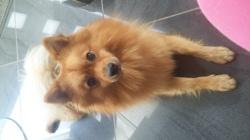 Gims, chien Spitz japonais