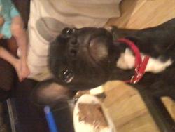 Gims, chien Bouledogue français