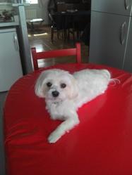 Gimy, chien Bichon maltais