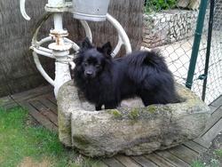 Gimy, chien Spitz allemand