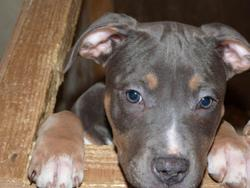 Gin Fizz, chien American Staffordshire Terrier