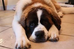 Gina, chien Saint-Bernard