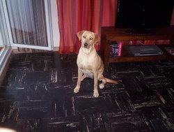 Gina, chien Labrador Retriever