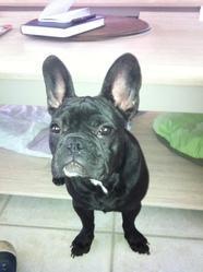 Gina, chien Bouledogue français