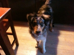 Gina, chien Berger australien