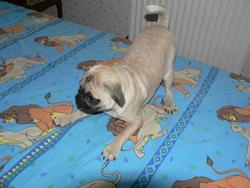 Gina, chien Carlin