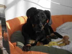 Gina, chien Beauceron