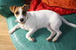 Gina, chien Jack Russell Terrier