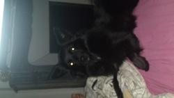 Gina, chien Spitz allemand