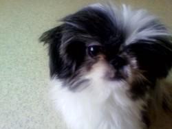 Gina, chien Shih Tzu