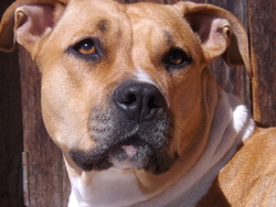 Gina, chien Staffordshire Bull Terrier