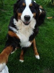 Gina, chien Bouvier bernois