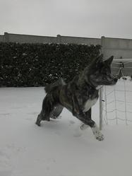 Gina, chien Akita Inu