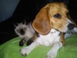 Gina, chien Beagle