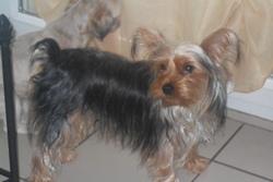 Gina, chien Yorkshire Terrier