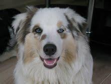 Gina , chien Berger australien