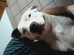 Gina, chien American Staffordshire Terrier