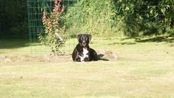 Gina, chien Border Collie