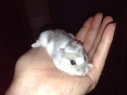 Gina, rongeur Hamster