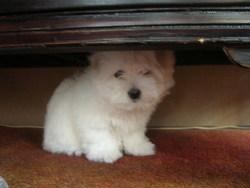 Gina, chien Coton de Tuléar