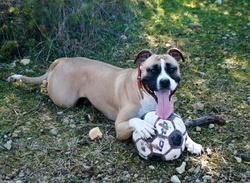 Gina, chien American Staffordshire Terrier