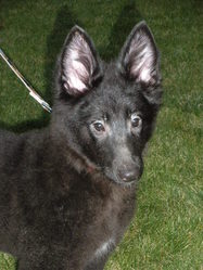 Gina, chien Berger belge