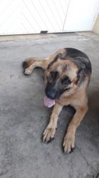 Gina, chien Berger allemand
