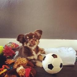 Gina, chien Chihuahua