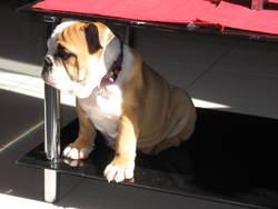 Gina, chien Bulldog