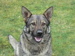 Gina Du Val Des Hurles Vent, chien Berger allemand