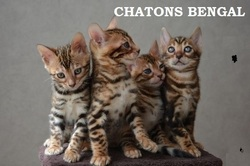 Gina Et Rony, chat Bengal