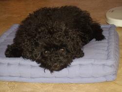 Ginette, chien Caniche