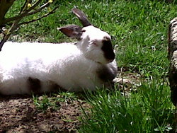 Ginette, rongeur Lapin