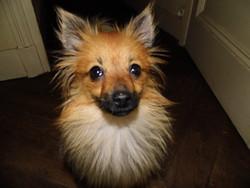 Ginette Dit Gigi L Amoureuse, chien Spitz allemand
