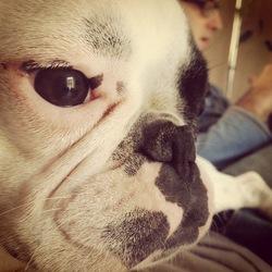 Ginger, chien Bouledogue français