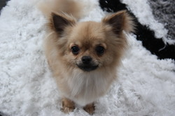 Ginger, chien Chihuahua