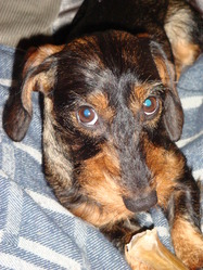 Ginger, chien Teckel