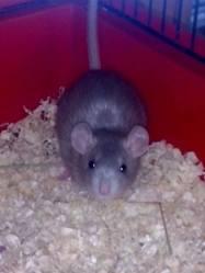 Ginger, rongeur Rat