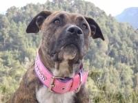 Ginger, chien Dogue de Majorque
